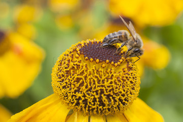 bee collecting honey on echinacea