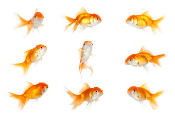 Group of similar goldfish, isolated on white