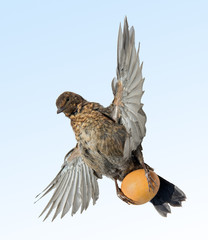 flying blackbird carries egg
