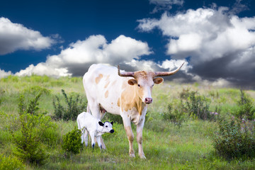 Longhorn Cow and Calf