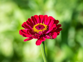 Red Zinnia Elegans Summer Flower