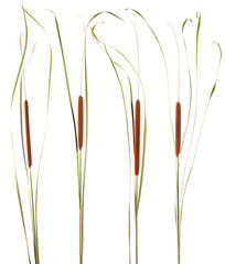 plant reeds