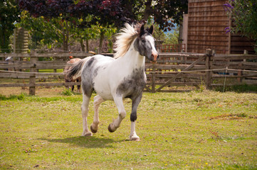 Pinto horse running