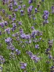lavender herb blossoming