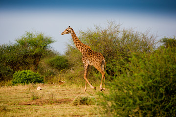 Giraffe in African bush