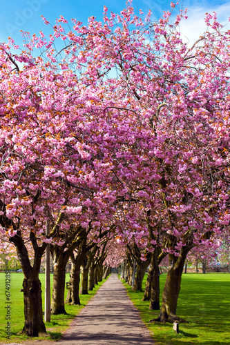 Walk path surrounded with blossoming plum trees - 67491285