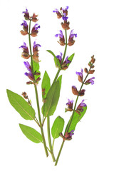 Salbei Salvia officinalis
