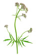 canvas print picture - Baldrian  (Valeriana officinalis)