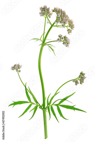 canvas print picture Baldrian  (Valeriana officinalis)