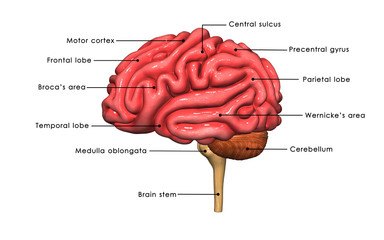 Human Brain labelled