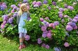 gartenarbeit - hortensien
