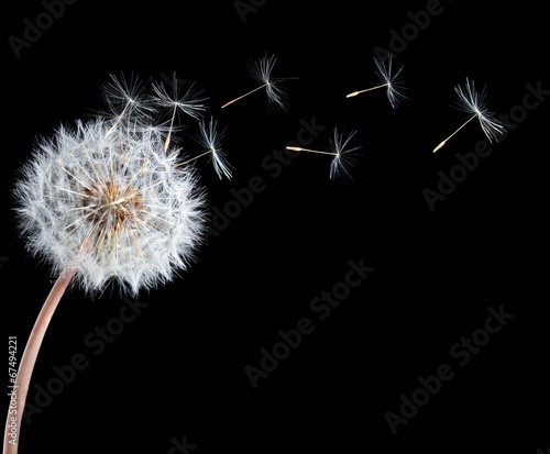 Blowball of dandelion flower