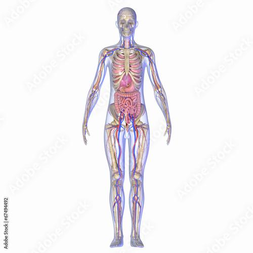 Leinwanddruck Bild Human anatomy