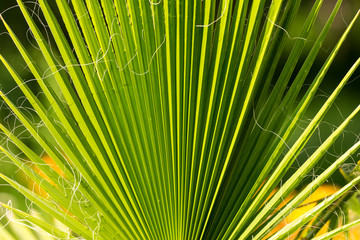 Palm Tree Branch Closeup At Sunset Light