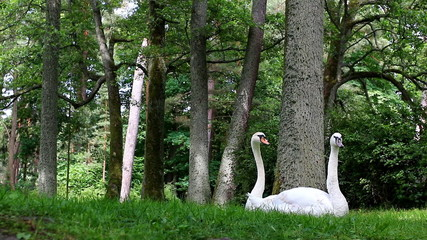 Funny view of swan  couple in the park