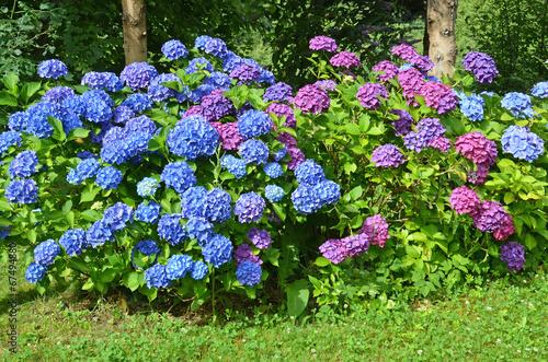Tuinposter Hydrangea hortensien