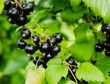 black currant branch.  Ripe blackcurrants growing in the bush