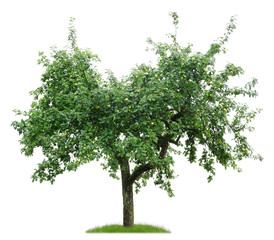 Apfelbaum mit Früchten im Juli