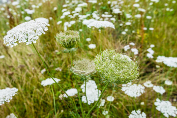 Wild Carrot plants blooming and budding