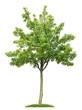 Junger Birnbaum mit Früchten vor weißem Hintergrund