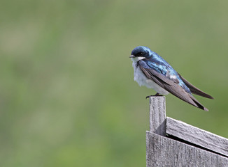 Tree Swallow and Copyspace