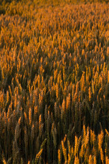 Cereal field in sunset light