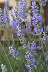Lavender blooms and a bee
