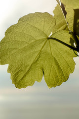 Vine Leaf Spa Background