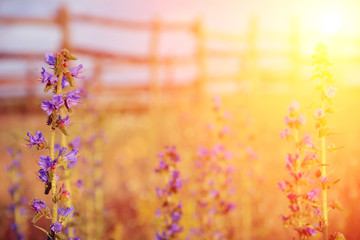 Violet meadow flower with sun rays