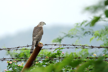 A falcon sitting on fence