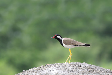 A beautiful Red-wattled Lapwing