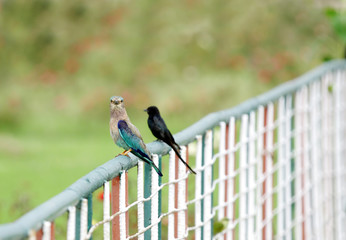 Indian roller and a Drongo perched on fence
