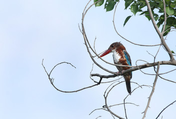 Beautiful White-throated  Kingfisher perched on a tree