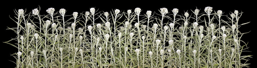 Halloween white plants  line isolated