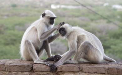 Pair of common Langur's in india