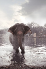 indian elephant enjoying bath