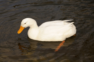 White duck in a pond