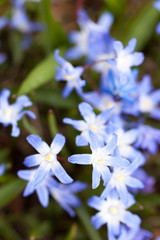 First Spring flowers - blue Scilla siberica