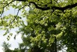 branches of oak tree at spring