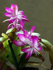 purple flowers of succulent plant