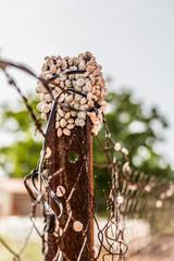 Escargot Helicella