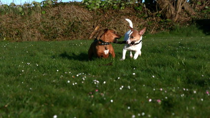 Two dogs fighting for a stick in the garden