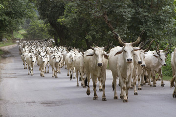 herd of indian cows