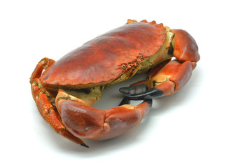 Shellfish: cooked crab isolated in white