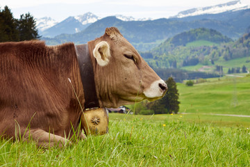 Kuh in der Allgäuer Bergwelt