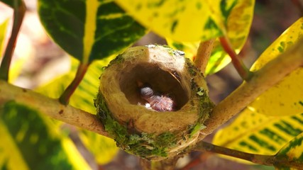 Baby hummingbird in the nest