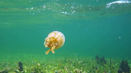Golden medusa jellyfish swims underwater