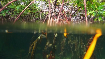 mangrove roots above and below water surface