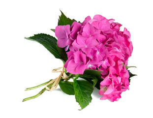 hydrangea isolated on white