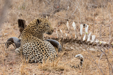 Big strong male leopard walking eat on animal carcass on grass